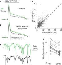 Asymmetric neurotransmitter release enables rapid odour