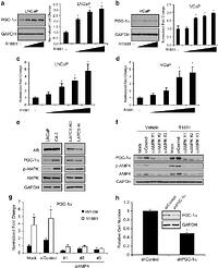 Androgens regulate prostate cancer cell growth via an AMPK