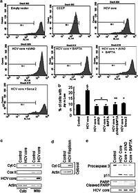 Hepatitis C virus core triggers apoptosis in liver cells