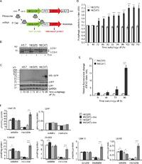 Ubiquitin accumulation in autophagy-deficient mice is