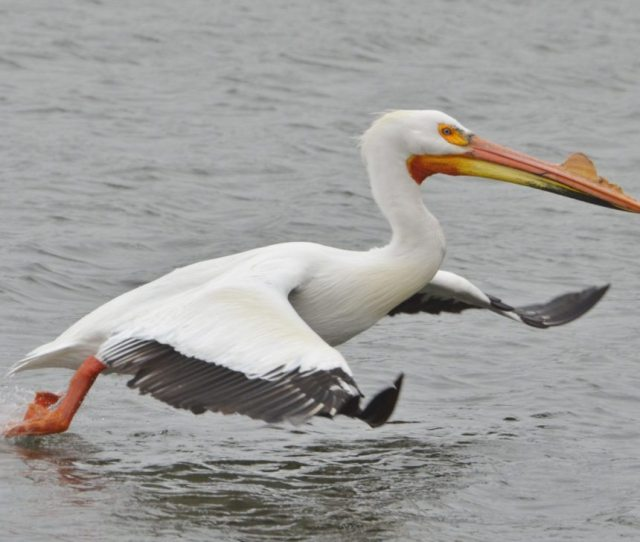 Pelicans Gather At Sand Lake News Sports Jobs Times Republican