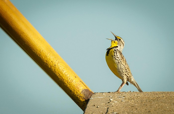 A Meadowlark - Bird Calls of 1955