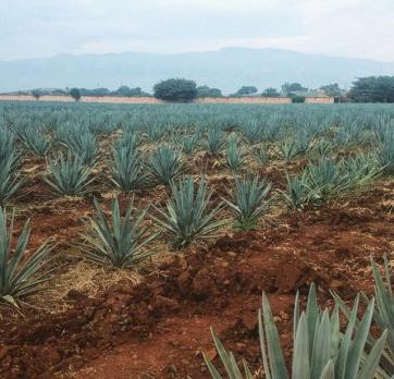 A field of agave plants in Mexico