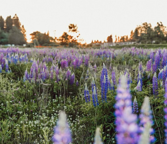 A field of wildflowers during Golden Hour