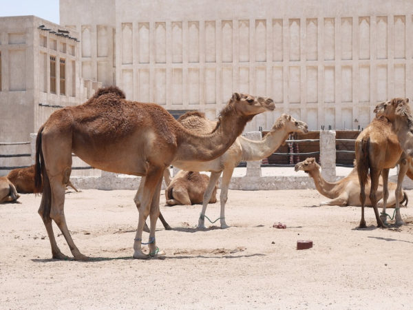 camels in a group in the desert