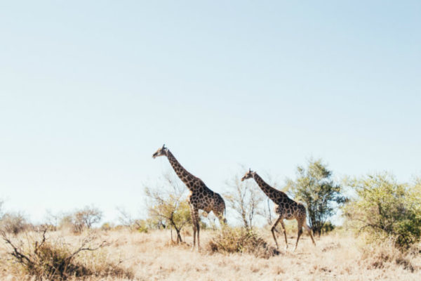 Giraffes in Kruger National Park