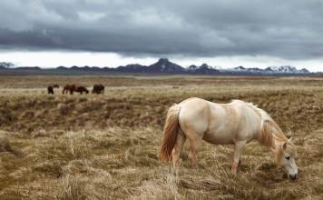 horses graze in mountain foothills