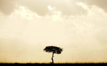 a lone tree in the savannah at dusk