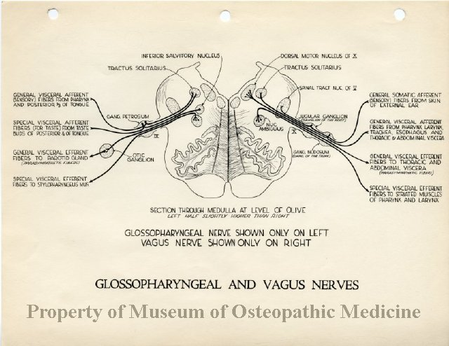 vagus nerve diagram how to read a wire 2011 94 of the glossopharyngeal and nerves accession number title