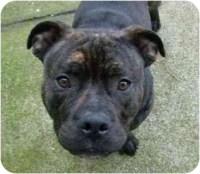 Pitbull staffordshire mix, bully dog pitbull kennel, stop ...