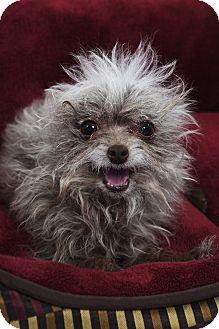 CoCo Puff  Adopted Dog  Studio City CA  Chihuahua