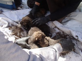 Four of six Coronado Pack wolf pups are prepared for transport to the Sevilleta Wolf Management Facility in New Mexico on May 15, 2014.