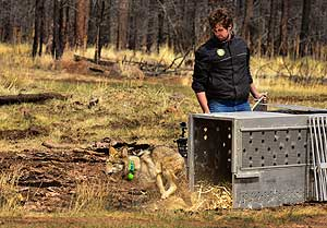 Release of Mexican wolf into Apache National Forest