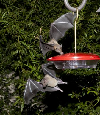 Nectar-feeding lesser long-nosed bats are attracted to a hummingbird feeder during a citizen science bat migration monitoring project in southern Arizona (2013)