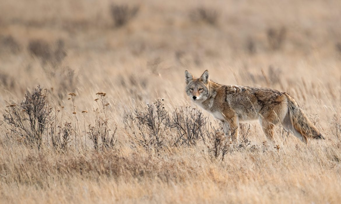 Environmental group reaches settlement with Wildlife Services suit over animal killing policies