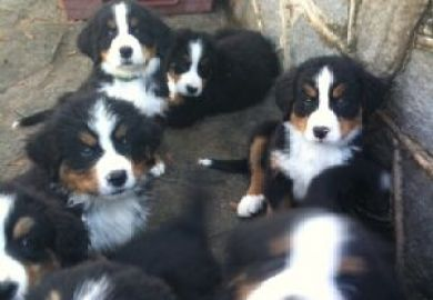 Bernese Mountain Dogs For Sale In Washington