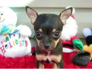 chihuahua puppies in missouri