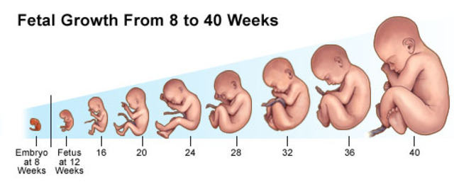Image result for fetus development