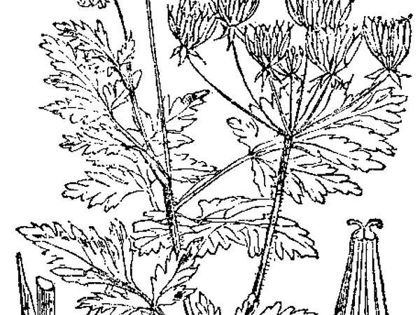 Do Chestnut Trees Grow In Georgia