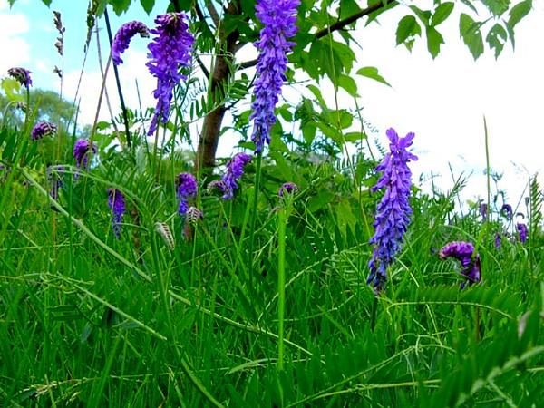 Image result for image of bird vetch