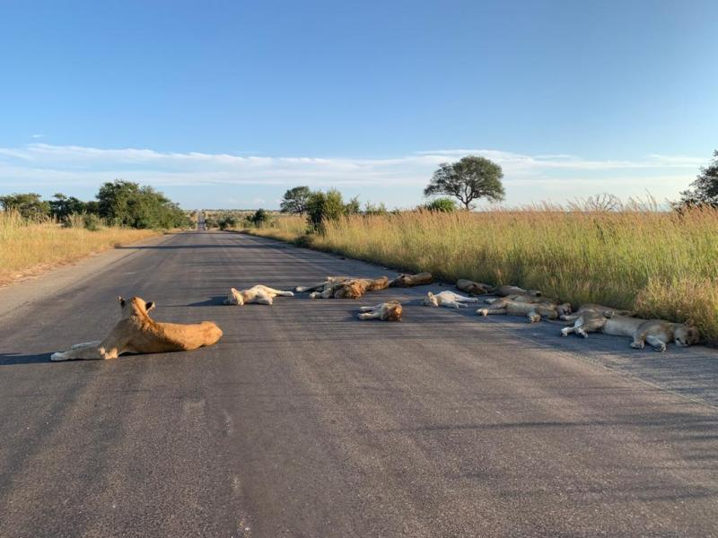 Kruger Park - Lions taking advantage of the absent tourists