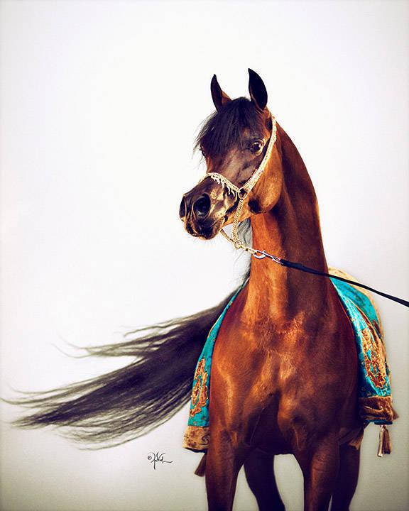 Qr Marc The Arabian Breeders World Cup Arabian Horse