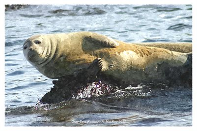 Gray Seal Resting