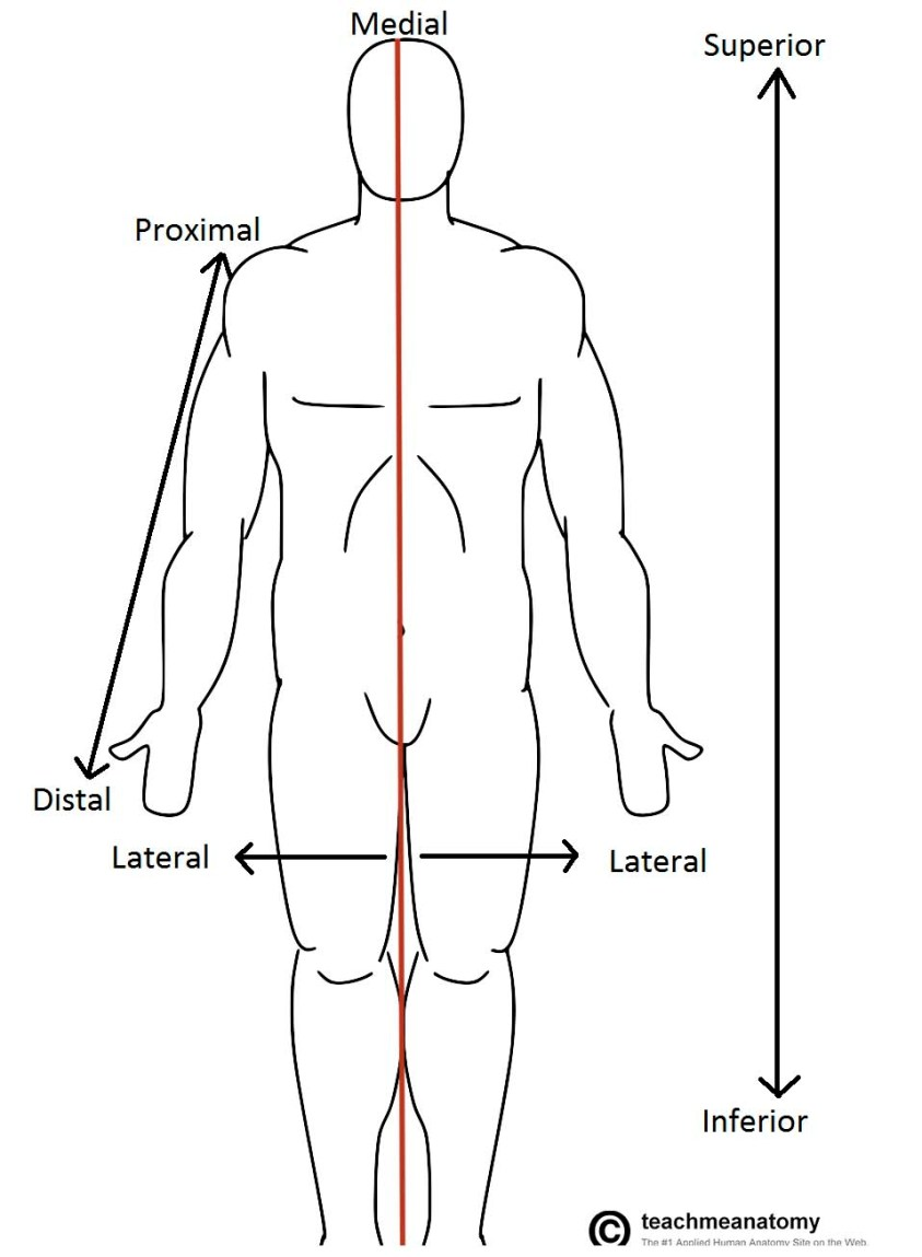Anatomical Terms of Location - Anterior - Posterior ...