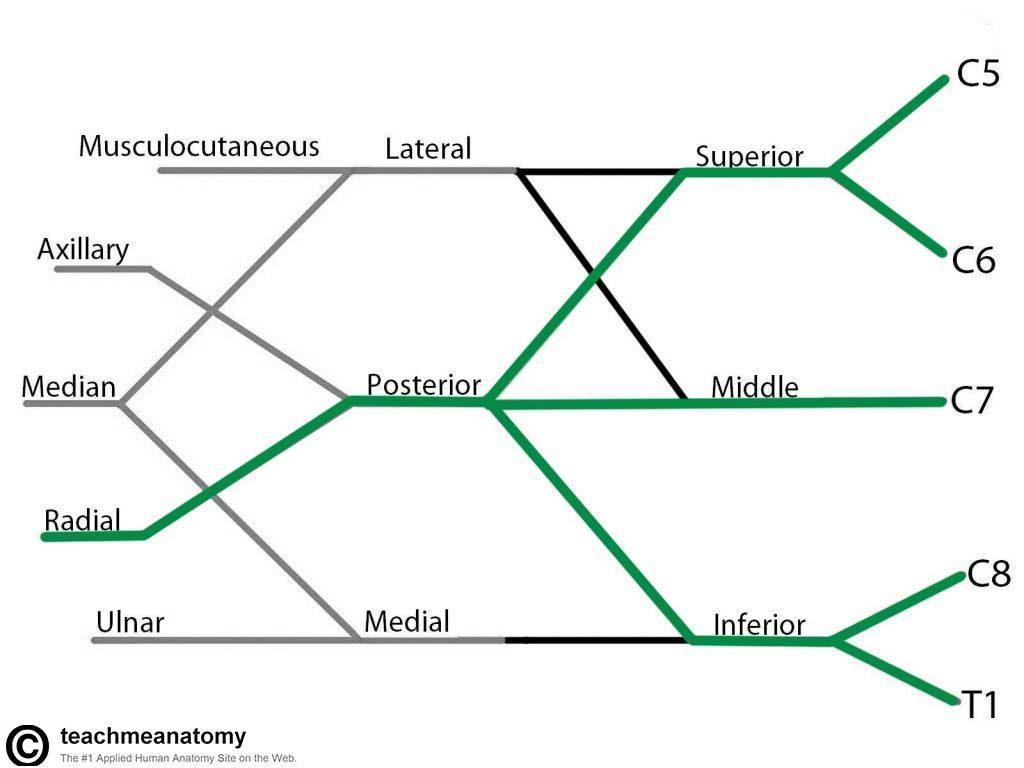 The Brachial Plexus - Sections - Branches - TeachMeAnatomy