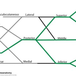 Radial Nerve Diagram Wiring Speakers In Parallel The Brachial Plexus Sections Branches Teachmeanatomy Fig 7 Derivation Of From