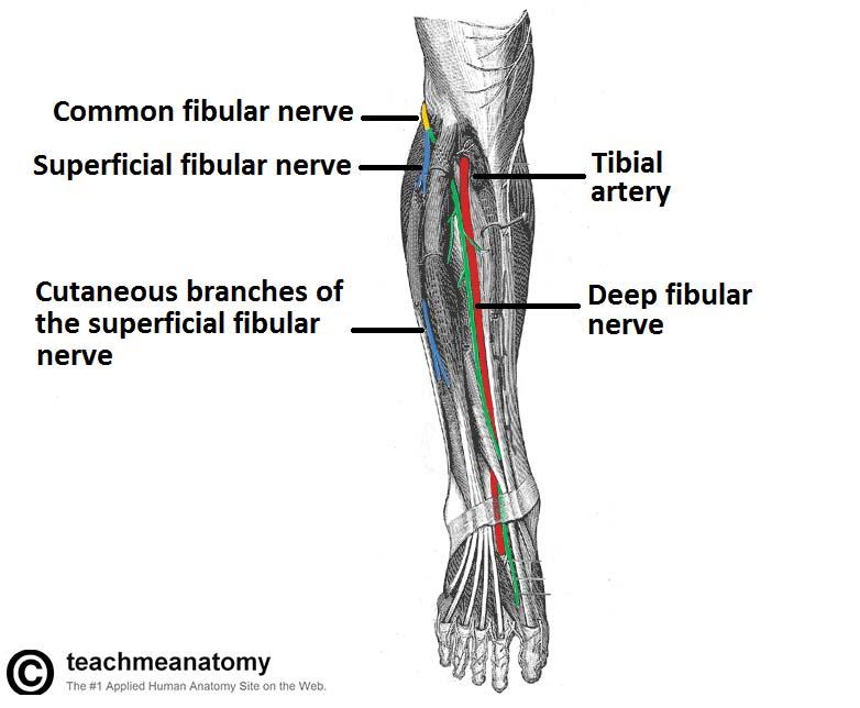 diagram of sciatic nerve pathway wiring for galaxy 500kva ups the common fibular - course motor sensory teachmeanatomy