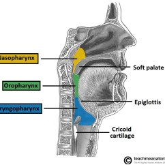 Vagus Nerve Diagram Cuts Of Lamb The Cn X Course Functions Teachmeanatomy Fig 1 2 Three Parts Pharynx And Their Borders Laryngopharynx Is Innervated By