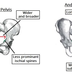 fig 5 gynaecoid pelvis vs the android pelvis  [ 1230 x 674 Pixel ]