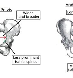 fig 5 gynaecoid pelvis vs the android pelvis  [ 1230 x 674 Pixel ]