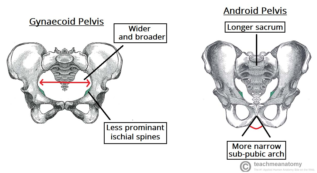 hight resolution of fig 5 gynaecoid pelvis vs the android pelvis