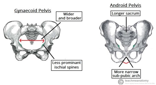 small resolution of fig 5 gynaecoid pelvis vs the android pelvis
