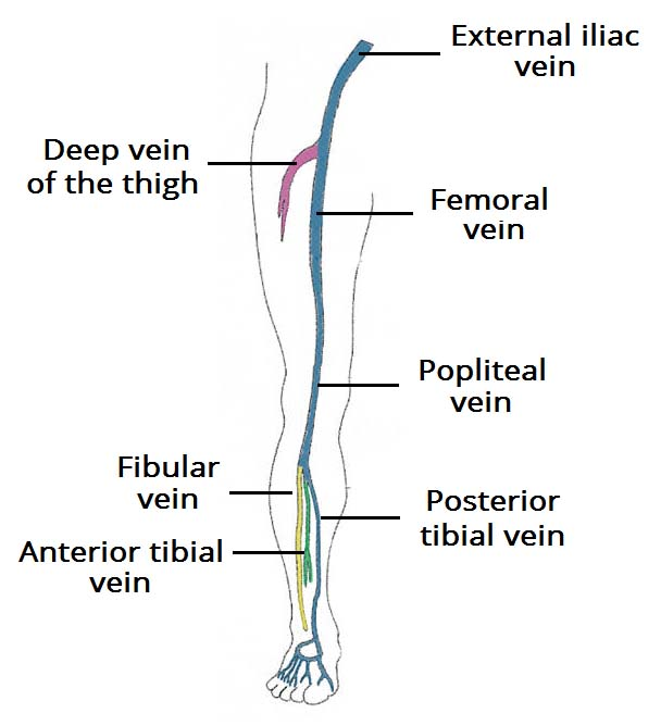 human leg anatomy diagram er for business management system venous drainage of the lower limb teachmeanatomy fig 1 overview deep veins
