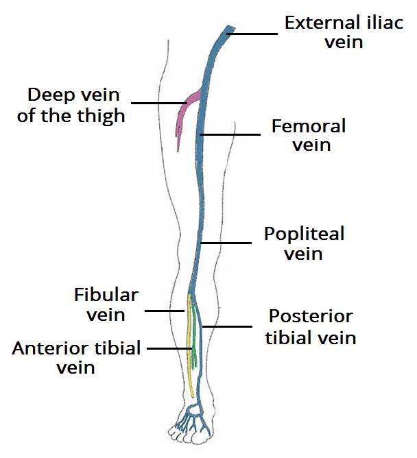 lower leg nerve diagram lighting 2 way switching wiring of limb veins great installation venous drainage the teachmeanatomy rh info sonographic anatomy nerves