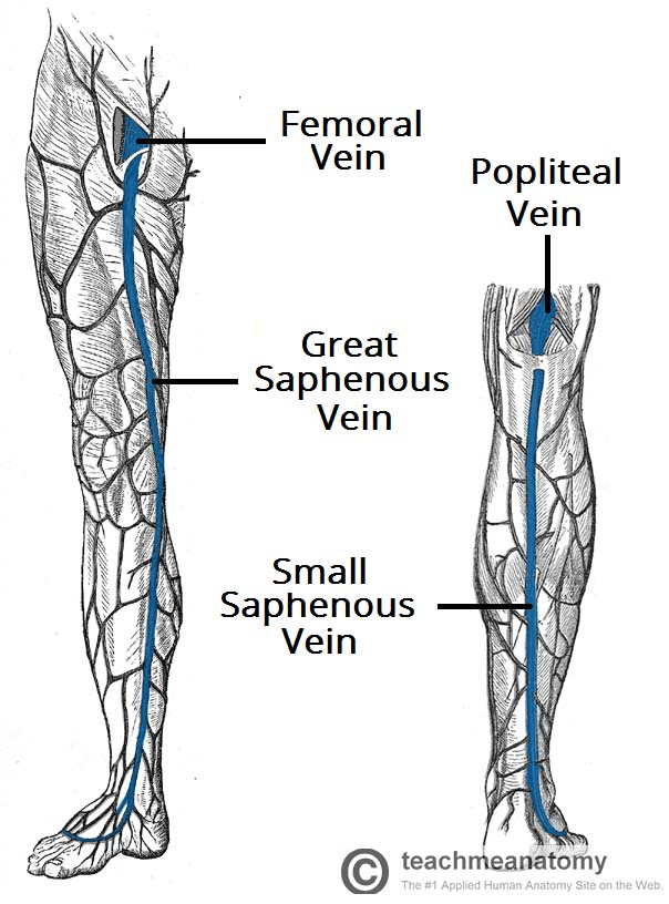 veins in the foot diagram sunpro voltmeter wiring venous drainage of lower limb teachmeanatomy fig 1 two major superficial