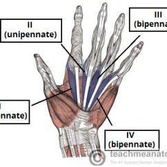 Hand Muscles Diagram 2 Pickup Wiring The Of Thenar Hypothenar Teachmeanatomy Figure 3 Lumbricals Note Differing Unipennate And Bipennate Structure