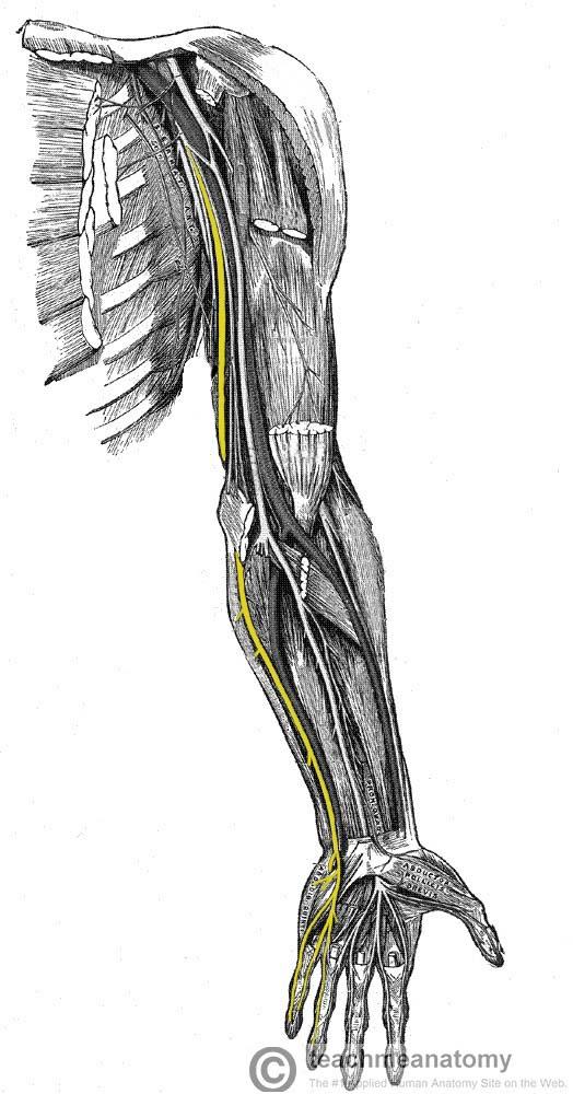 hand nerves diagram 1995 jeep yj radio wiring the ulnar nerve course motor sensory teachmeanatomy fig 1 anatomical of through upper limb