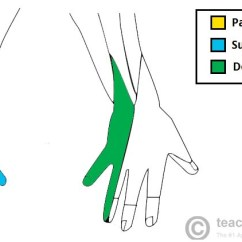 Ulnar Nerve Diagram Wiring For Alternator To Battery The Course Motor Sensory Teachmeanatomy Fig 3 Cutaneous Innervation Of