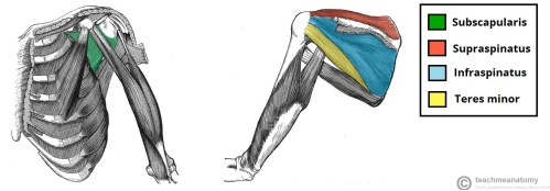 small resolution of fig 1 3 the rotator cuff muscles which act to stabilise the shoulder joint