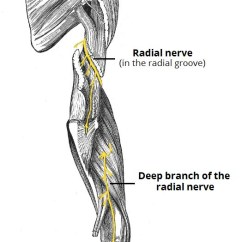 Radial Nerve Diagram Air Conditioner Wiring Troubleshooting The Course Motor Sensory Teachmeanatomy Fig 1 View Of Posterior Arm Showing Anatomical