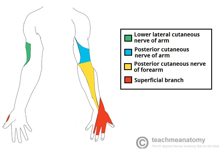radial nerve diagram aftermarket wiring harness the course motor sensory teachmeanatomy fig 3 cutaneous innervation of