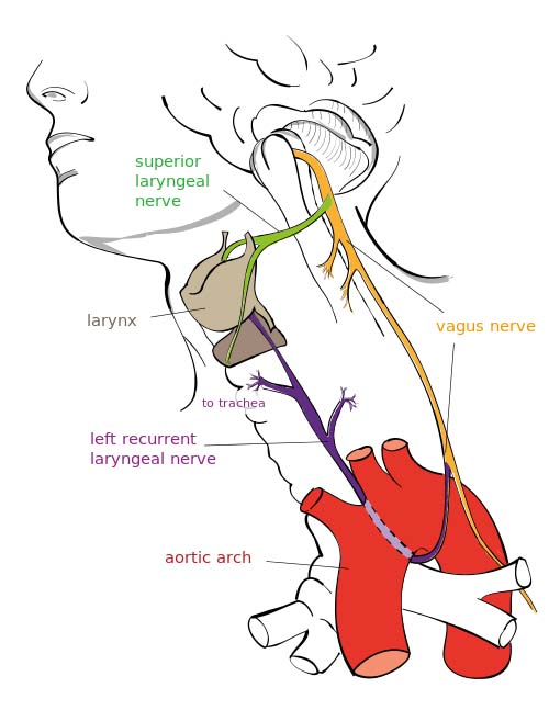 vagus nerve diagram crutchfield wiring diagrams the cn x course functions teachmeanatomy fig 1 0 overview of major branches