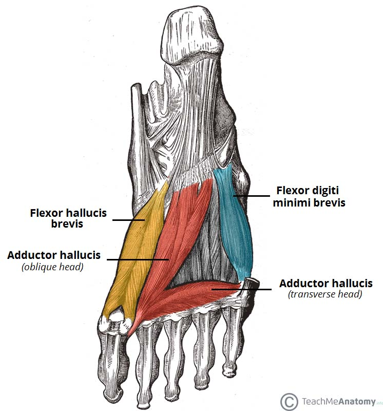 muscle diagram dorsal tekonsha envoy wiring muscles of the foot plantar teachmeanatomy fig 4 third layer
