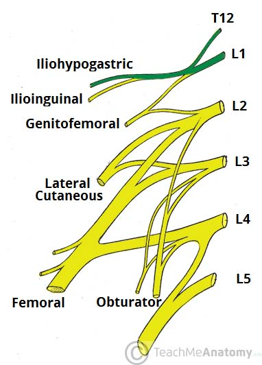 lumbar nerve root diagram solar powered light wiring the plexus spinal nerves branches teachmeanatomy fig 1 2 derivation of iliohypogastric