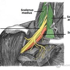 Fetal Pig Spinal Cord Diagram 2002 Vw Passat Vacuum Hose The Brachial Plexus - Sections Branches Teachmeanatomy