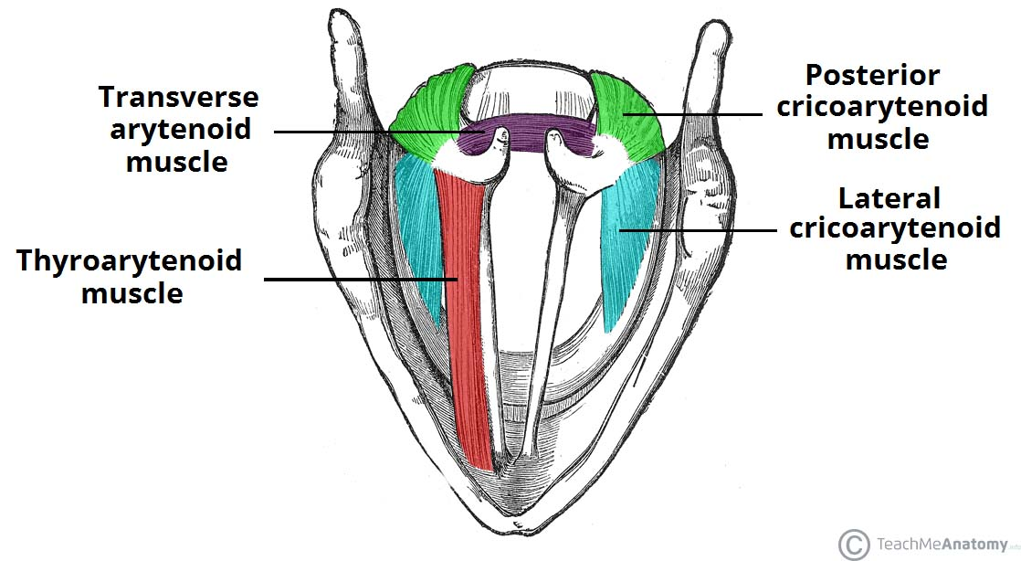 horse respiratory system diagram harley davidson electrical muscles of the larynx - intrinsic extrinsic teachmeanatomy